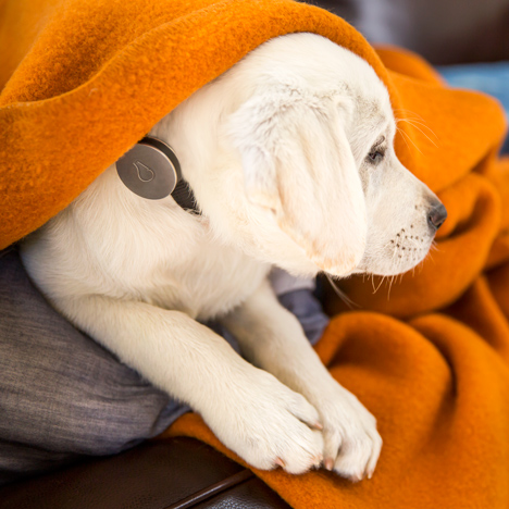 Whistle wearable technology for dogs lets owners monitor pet activity