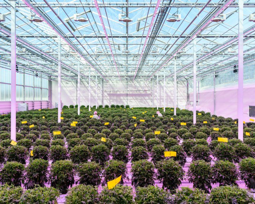 Alastair Philip Wiper, Aurora Nordic medicinal cannabis greenhouse, Denmark