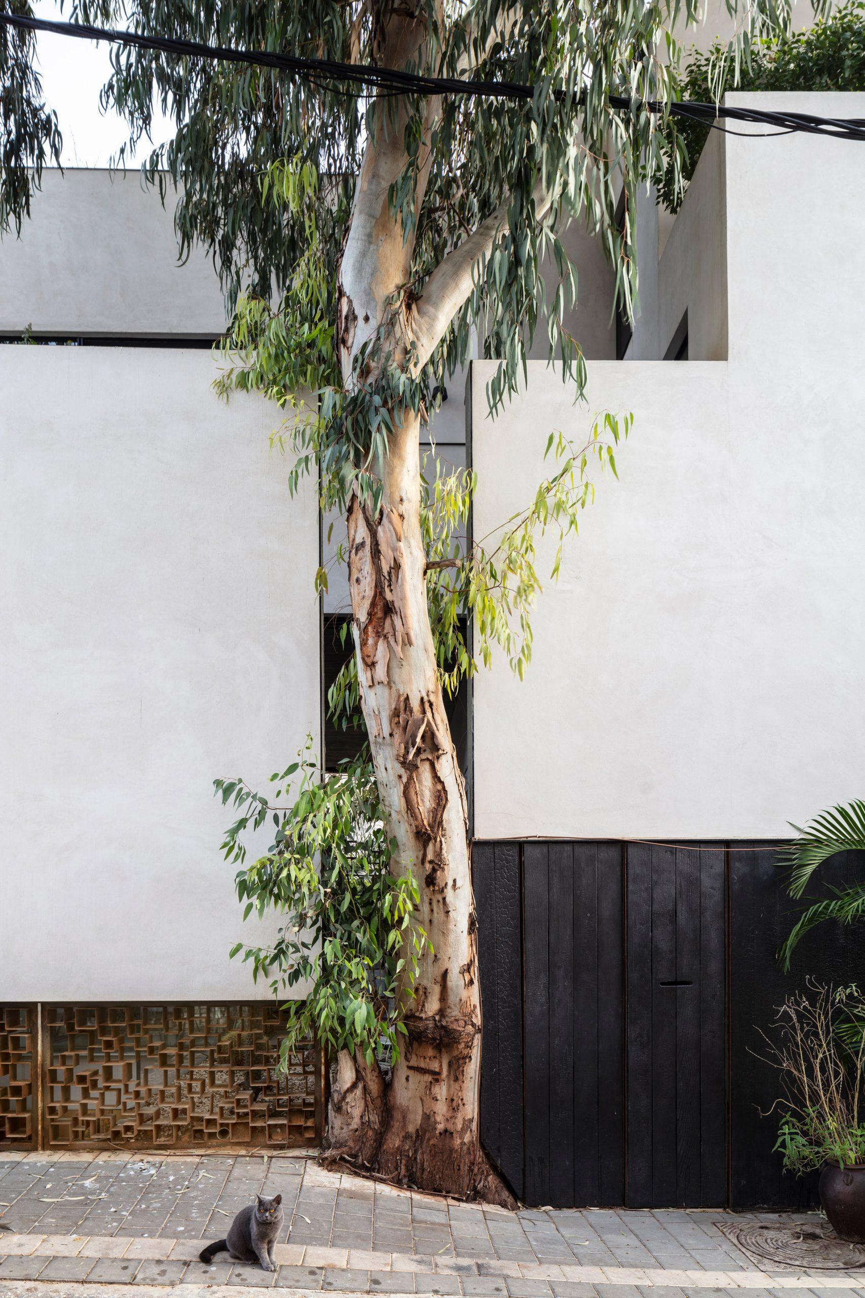 Eucalyptus tree in Eucalyptus House by Paritzki & Liani Architects