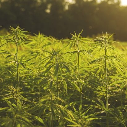 Industrial hemp plantation