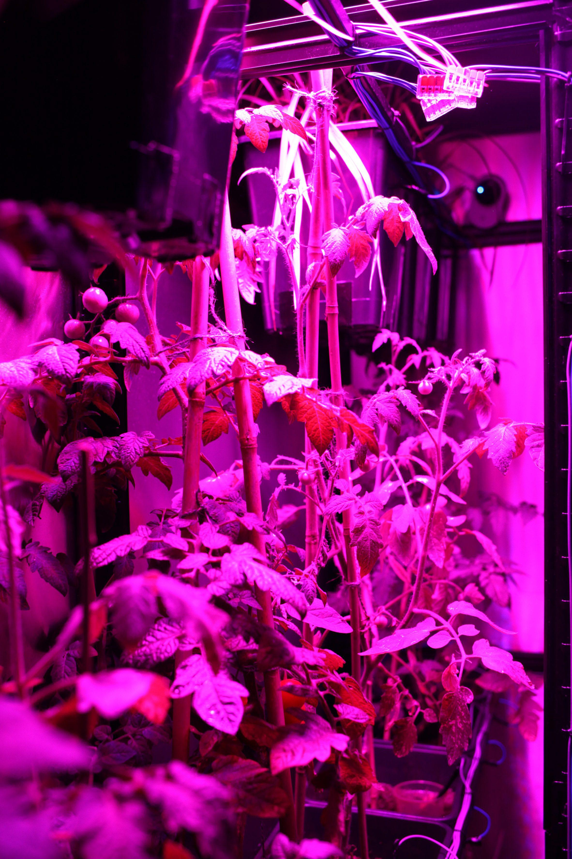 Tomato plants under a grow light